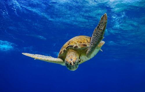 Green Sea Turtle descending into the blue